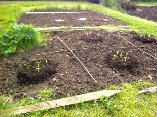 Sweetcorn plants in raised mounds of compost
